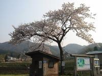 Basuteinosakura