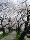 Sakuranotonneru