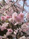Sakuraup