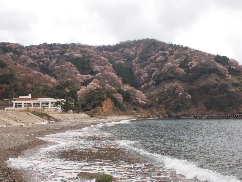 Mikonoyamazakura