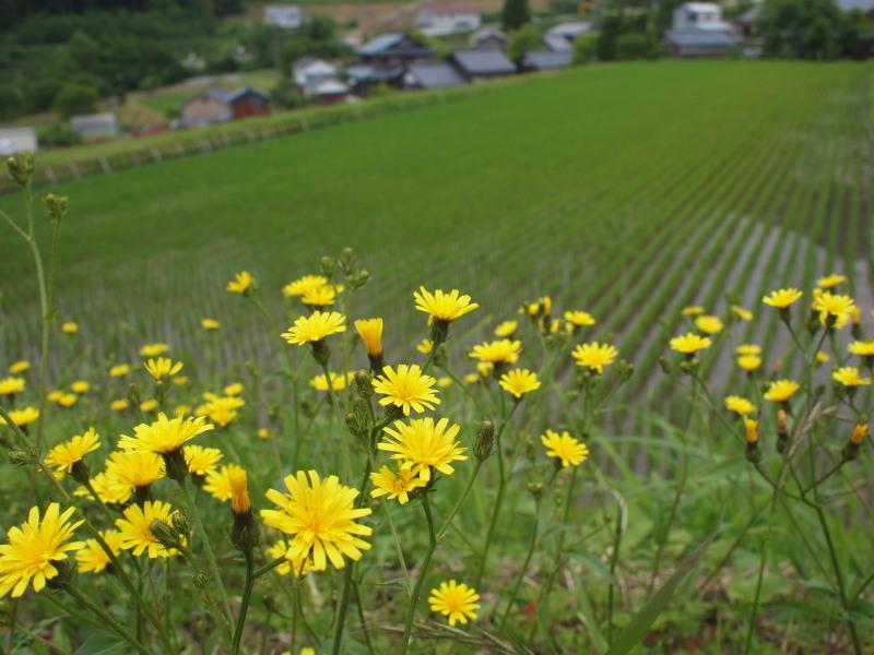 Kiiroihana2
