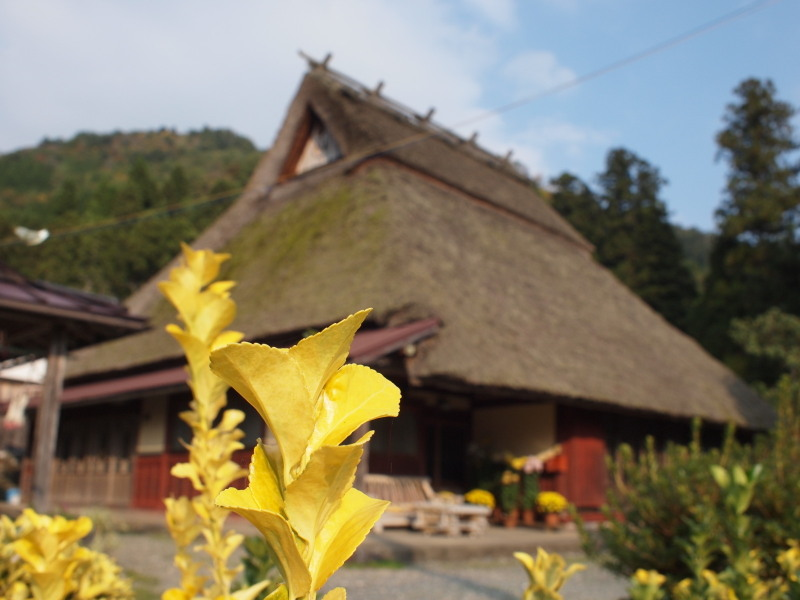 Kiiroiha