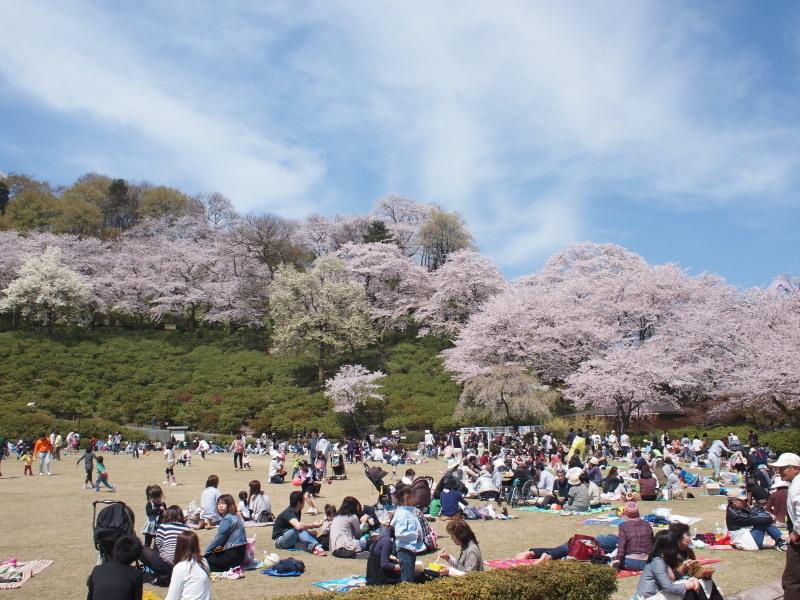 Nisiyamasakura2