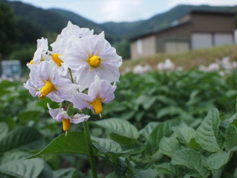 Jagaimonohana2