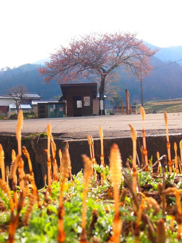 Basuteizakura3