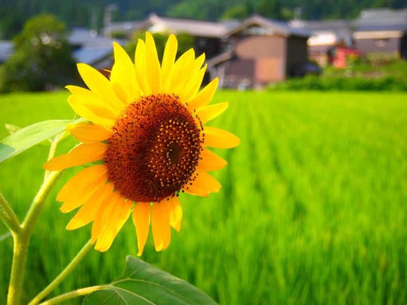Himawari01