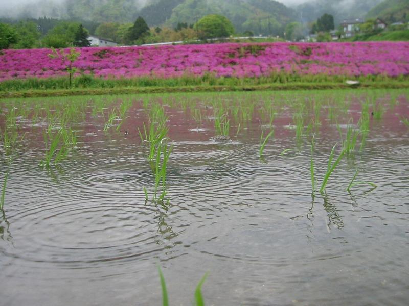 Naetosibazakura